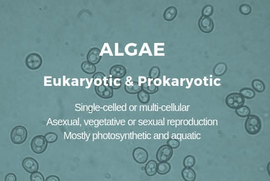 Many algae are considered to be microbes