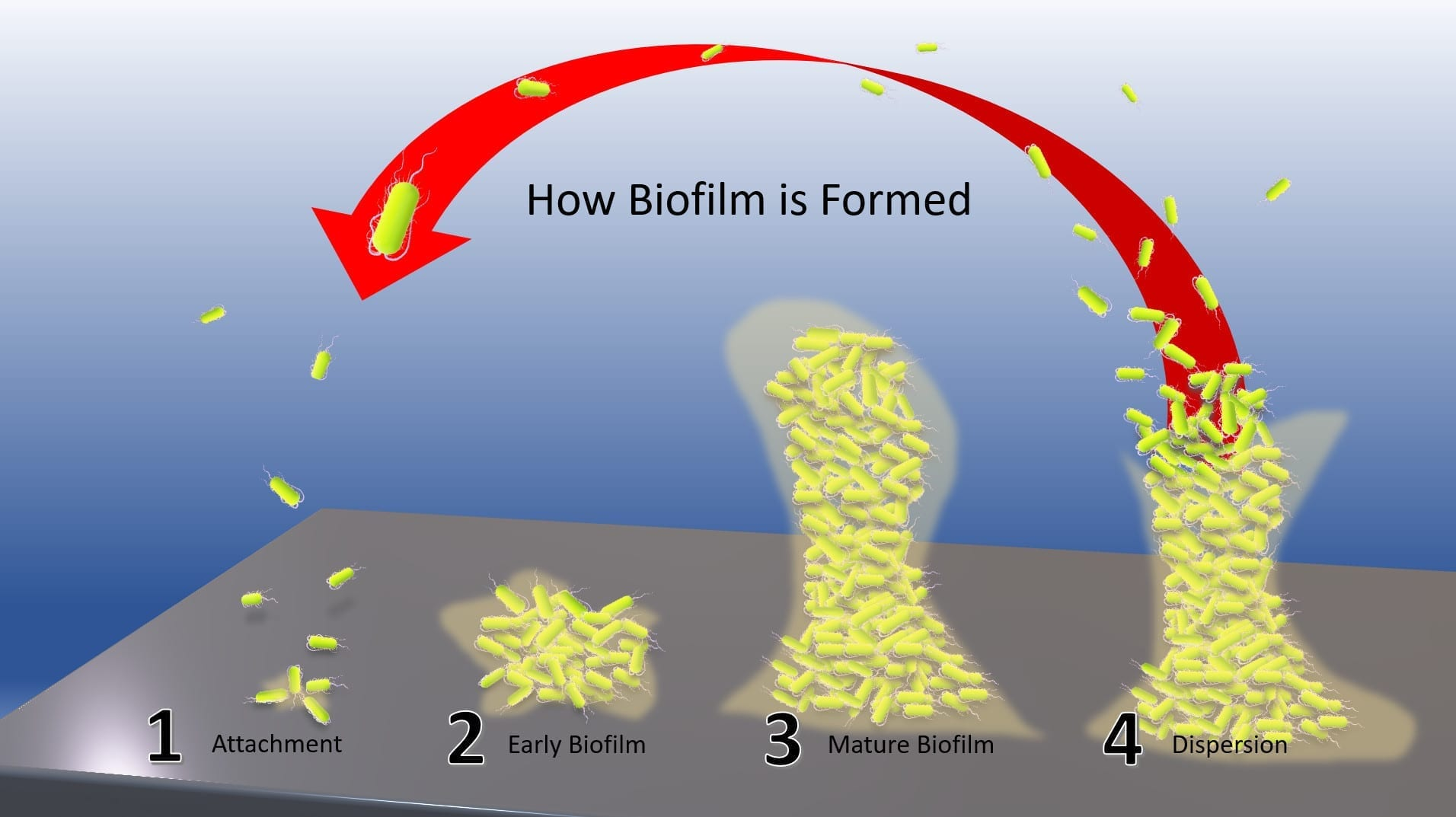 How Biofilm is Formed